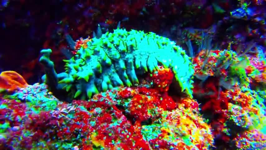 """Sea cucumbers are one of the most bizarre looking animals in the underwater world. They are eyeless, faceless animals that are capable of moving only slowly across the ocean bottom. They filter the water or scrape surfaces to feed on algae and decaying plant material. They range in size from several cm long to more than 2m (6 feet). This one is approximately 45cm in length (1.5 feet).  Responsible for keeping the water clean, they are beneficial to the overall health of the ocean. They also provide food for many animals, and even humans.  This spiny sea cucumber has numerous """"feet"""" that help propel it slowly along. Its mouth constantly works to push food in as it moves. Thousands of tiny suckers on its underside help keep the sea cucumber on the surface on which it is feeding. They also prevent the sea cucumber from being turned over easily. This allows it to stay protected, exposing only the tough, leathery skin on its back.   This sea cucumber lives on a reef in Papua New Guinea. The waters here are home to an abundance of beautiful and unique animals. Crystal clear water makes this place a top ten destination for scuba divers. Rich in culture and history, Papua New Guinea is a wonderful place to explore, both above and below the waves."""