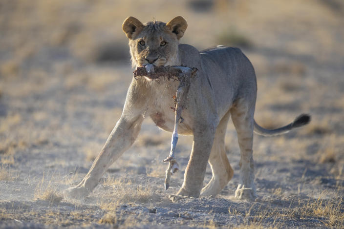 A lioness picks out the remains of a springbok, after a kill with three other lionesses at the Okondeka water hole. (Photo: Gordon Donovan/Yahoo News)