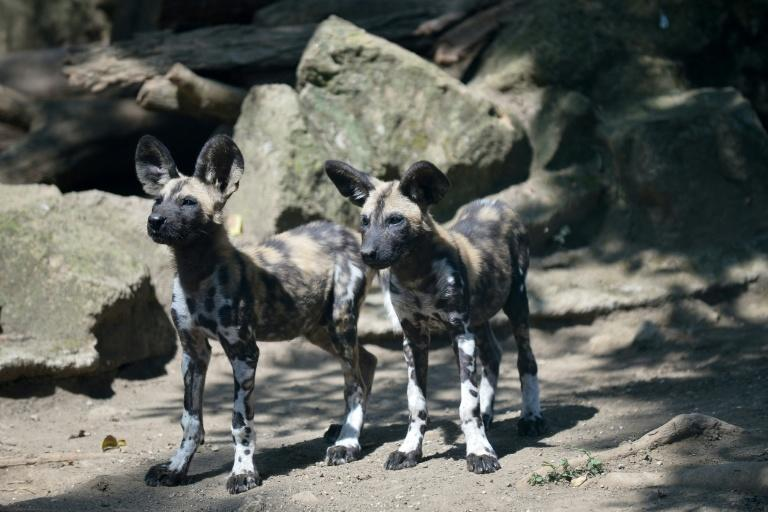 The African wild dog population in southern Africa's Miombo Woodlands is at risk