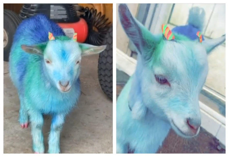 Harris' goat painted blue by Farmer. — Screengrab via Fox 10 News