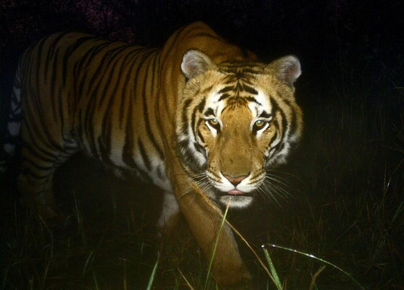 A Royal Bengal tiger walks in Bardiya National Park in Nepal, one of 13 countries that have agreed to establish an intelligence-sharing network to fight trafficking of the animal