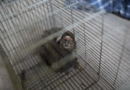 A monkey, captured by researchers of Brazil's state-run Fiocruz Institute, looks out from a cage, at Pedra Branca state park, near Rio de Janeiro, Tuesday, Oct. 29, 2020. The institute collects and studies viruses present in wild animals. (AP Photo/Silvia Izquierdo)