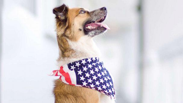 PHOTO: A dog wears an American flag bandana. (STOCK PHOTO/Getty Images)