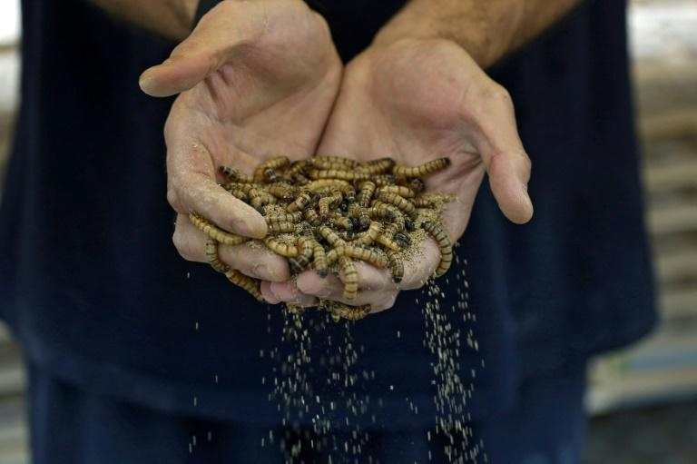 Mealworms are widely eaten around the globe, with an estimated 1,000 species appearing on the dinner plates of some two billion people