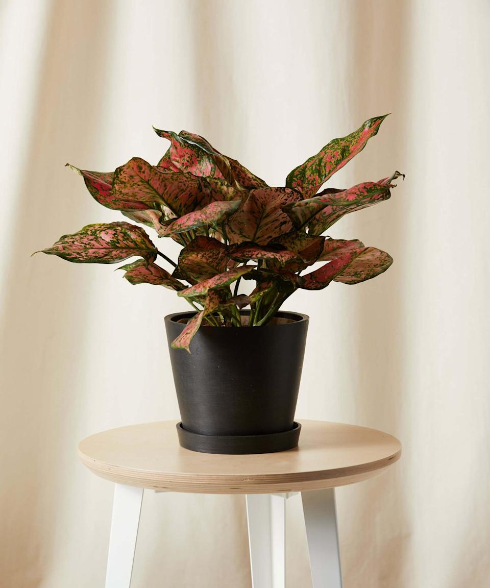 <p>If they're more into plants, this <span>Bloomscape Potted Pink Splash Aglaonema</span> ($65) is a gift they'll always remember.</p>