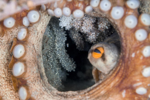<p>Numerous octopuses hatch at once so as to avoid being wiped out by natural enemies in Osezaki, Nishi-Izu, Shizuoka Prefecture, Japan, Sept. 23, 2015. I wonder if this particular hatchling survives to grow large. (Photograph by Toru Kasuya) </p>