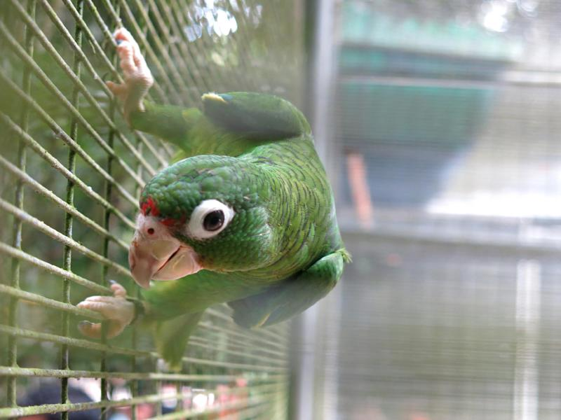 A Puerto Rican parrot perches in its cage in the Rio Abajo Nature Preserve, Puerto Rico, Thursday, Aug. 15, 2013. One of the world's most endangered bird species has made a major comeback in the U.S. territory of Puerto Rico. The counted population of the Puerto Rican parrot fell to just 13 during its darkest days. But researchers said Thursday that there are nearly 400 parrots in captivity and more than 100 being tracked in the wild across the island. (AP Photo/Danica Coto)