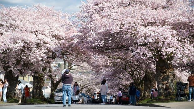 Crowds flock to a residential street in east Vancouver to enjoy the large canopy of cherry blossoms during the Easter long weekend. (Gian Paolo Mendoza/CBC - image credit)