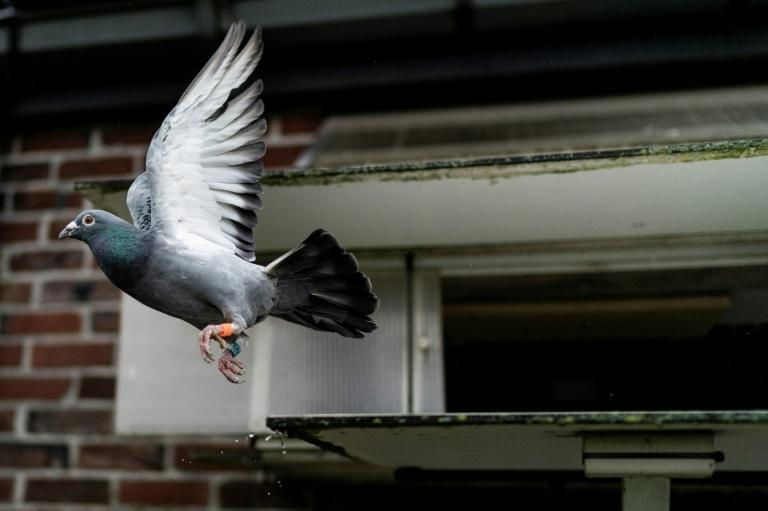 Top European birds have won global fame in recent years and particularly in China where pigeon racing can generate huge winnings