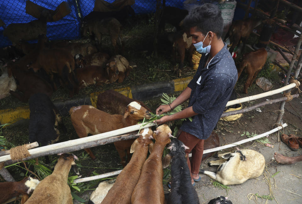 An Indian man feeds his goats and sheep while waiting for customers at a temporary roadside shelter ahead of the Muslim festival Eid al-Adha in Hyderabad, India, Monday, July 19, 2021. Muslims celebrate Eid al-Adha by slaughtering sheep, goats, camels or cows. (AP Photo/Mahesh Kumar A.)