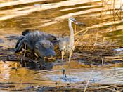 "This picture was taken on Paynes Prairie Preserve near Gainesville, Florida. The great blue heron, absorbed in trying to swallow the fish, wasn't the least bit concerned about the lurking alligator. Finally after downing the fish, the heron moved on to a safer place. (Photo and caption Courtesy Frederick Ross / National Geographic Your Shot) <br> <br> <a href=""http://ngm.nationalgeographic.com/your-shot/weekly-wrapper"" rel=""nofollow noopener"" target=""_blank"" data-ylk=""slk:Click here"" class=""link rapid-noclick-resp"">Click here</a> for more photos from National Geographic Your Shot."