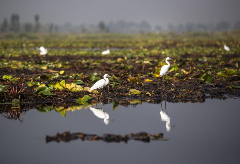 Birds rest on lotus lilies and weeds at the Dal lake in Srinagar, Indian controlled Kashmir, Tuesday, Sept. 14, 2021. Weeds, silt and untreated sewage are increasingly choking the sprawling scenic lake, which dominates the city and draws tens of thousands of tourists each year. (AP Photo/Mukhtar Khan)