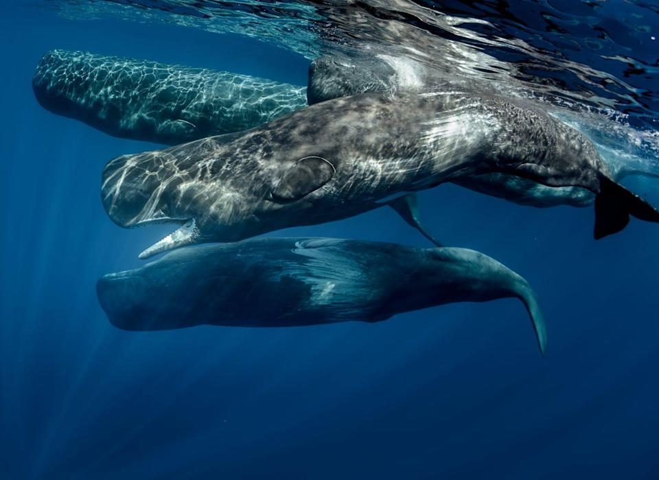 """<span class=""""caption"""">Pod of sperm whales swimming off the coast of Sao Miguel Azores</span> <span class=""""attribution""""><span class=""""source"""">Shutterstock</span></span>"""