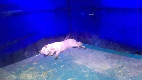 An arctic wolf lies in the corner of its concrete cell inside Grandview Aquarium. Photo: Animals Asia