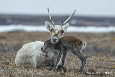 Porcupine Caribou with her calf in the Arctic National Wildlife Refuge. (CNW Group/Environment and Climate Change Canada)