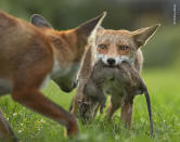 With a determined stare, a young fox holds tight to her trophy –a dead brown rat –as her brother attempts to take it off her.