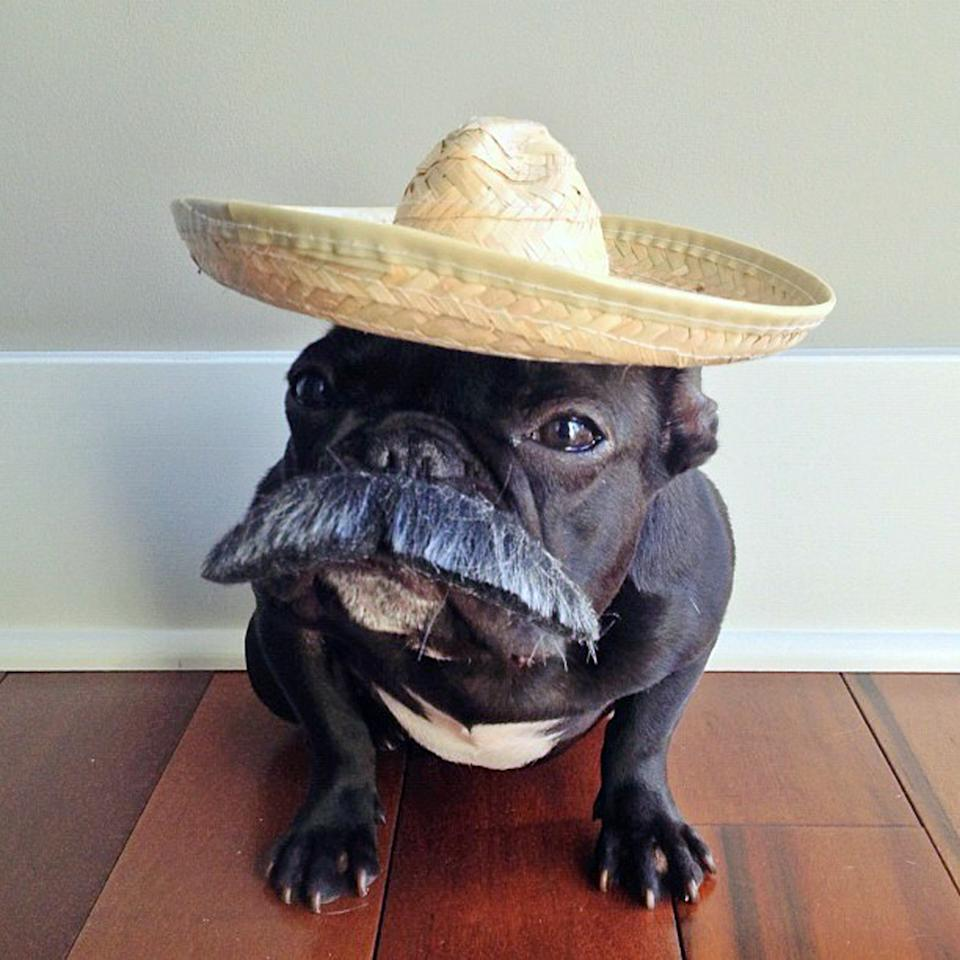 PIC BY SONYA YU / CATERS NEWS - (PICTURED: Trotter posing as a mascot for Taco Bell) - An adorable little French Bulldog has been playing dress-up and has impressively gathered a following of 30,000 on Instagram. The photogenic hipster, called Trotter, wears a range of outfits from a beret, moustache, top hat and pipe to high heels. Owner and Trotters photographer Sonya Yu said her little pup is simply a natural in front of the camera. SEE CATERS COPY