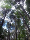 This Sept. 22, 2021 photo shows mature Atlantic White Cedar trees in Brendan Byrne State Forest in Woodland Township, N.J. New Jersey officials plan to restore 10,000 acres of cedars in what they say is the largest such effort in the U.S. (AP Photo/Wayne Parry)