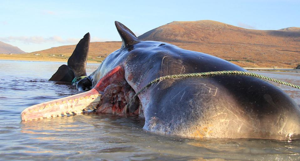 Washed up sperm whale that had 100 kg of rope and other marine debris.