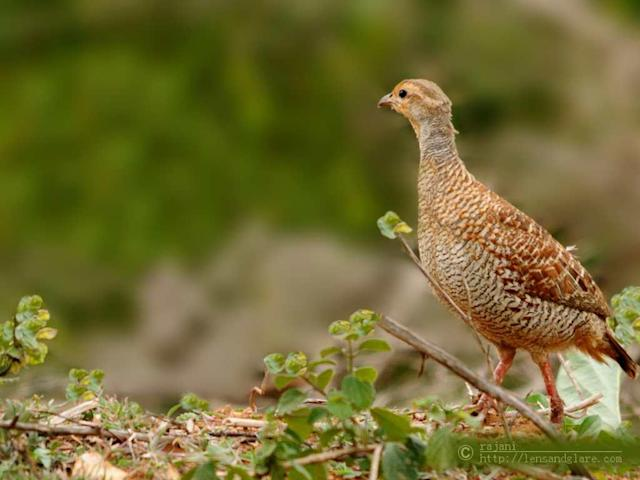 <b>Grey Francolin</b><br><br>This was our first sighting of wildlife as we reached our camping site at JLR, Bandipur. A couple of these birds were feeding on grain on the roadside. Francolins are shy by nature and this was the only decent shot I could make. They became alert as I stopped the car slowly and, before I could make a second shot, they hid in the bushes.