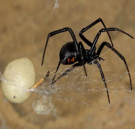 Male Black Widows Flip Sexual Cannibalism