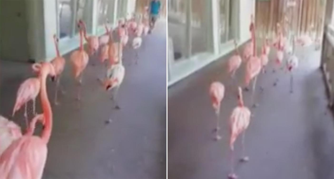 The flamingos are led out of the path of the storm (Picture: Twitter)