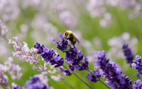 Bee pollinating lavender pant - Credit: Alamy