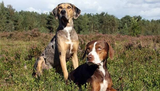 Michael Kirby's dogs have been described as Louisiana Catahoula leopard dog mixes. The dogs shown here are purebred versions of the breed.