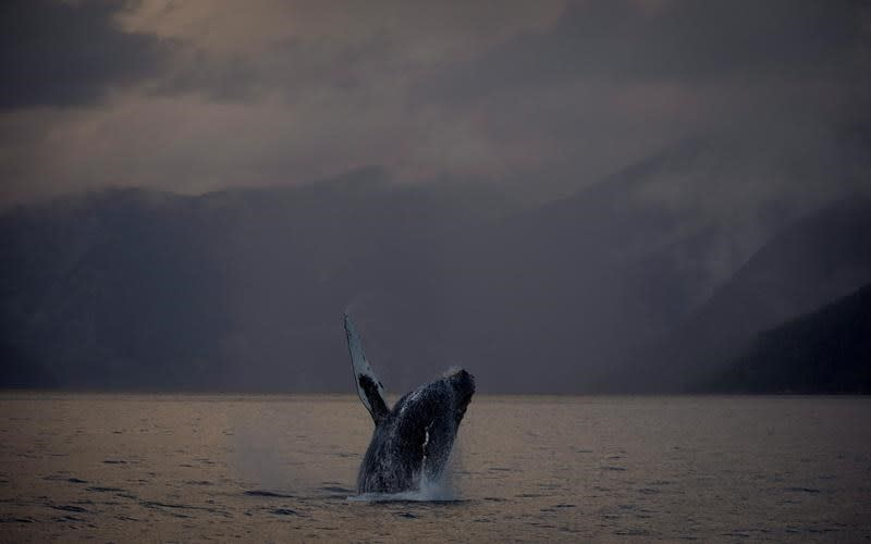 B.C. rescuers, experts concerned about condition of three entangled humpbacks