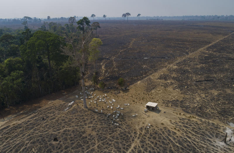 Cattle graze in a land recently burned and deforested by cattle farmers near Novo Progresso, Para state, Brazil, Sunday, Aug. 23, 2020. (AP Photo/Andre Penner)