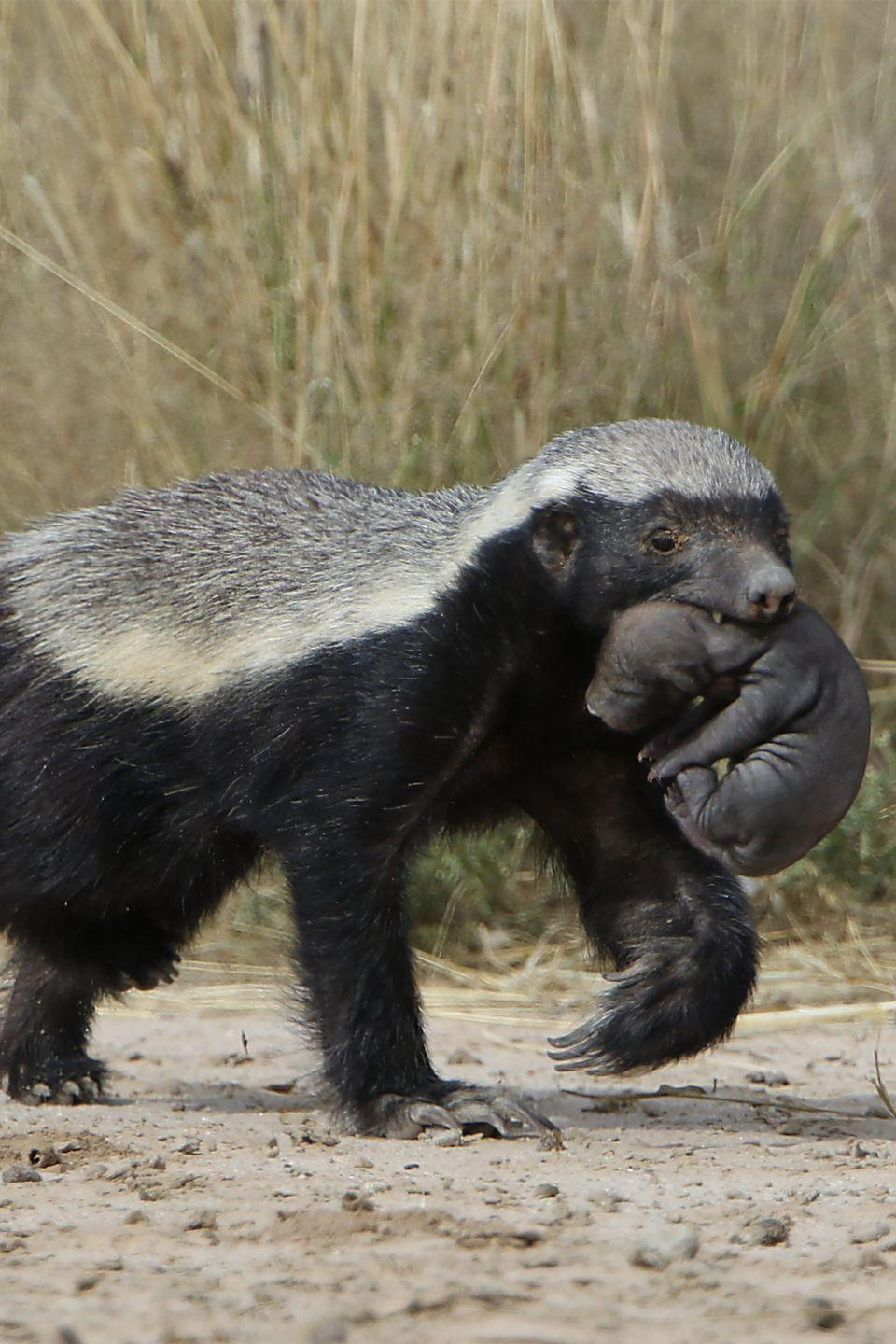 <p>Honey badgers are known as one of the most vicious animals on the planet. And they pretty much hunt <em>anything</em> because they're able to resist venom, an evolutionary wrinkle resulting from their diet of venomous snakes. From bugs to birds, crocodiles, and pythons, they take them all on. And they've evolved to digest <em>entire</em> animals, including bones and feathers.</p>