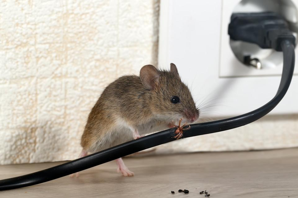 mouse on electrical cord