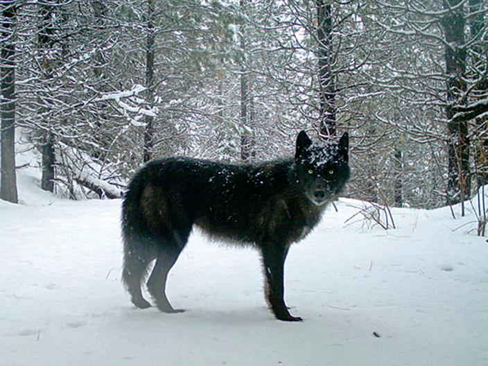FILE - This February 2017 file photo provided by the Oregon Department of Fish and Wildlife shows a wolf of the Wenaha Pack captured on a remote camera on U.S. Forest Service land in Oregon's northern Wallowa County. A federal proposal to take the gray wolf off the endangered species list has divided states in the West, and has even exposed conflicting views among top officials in Oregon. The governor said Thursday, May 16, 2019, it's critically important that range-wide recovery efforts for wolves across the West be maintained. (Oregon Department of Fish and Wildlife via AP, File)