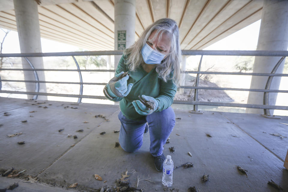Diana Foss, Texas Parks and Wildlife Urban Wildlife Biologist attempts to find any surviving Mexican Free-tailed bats in a pile of dead bats at Waugh Drive in Buffalo Bayou Park, where it was impacted by the winter storm Monday, Feb. 22, 2021, in Houston. Foss said that the winter bat colony is about 100,000 and that during the summer the colony has about 300,000 bats. She said they were able to find about 20 bats that have fallen from the bridge that were still alive and they are attempting to save. (Steve Gonzales/Houston Chronicle via AP)