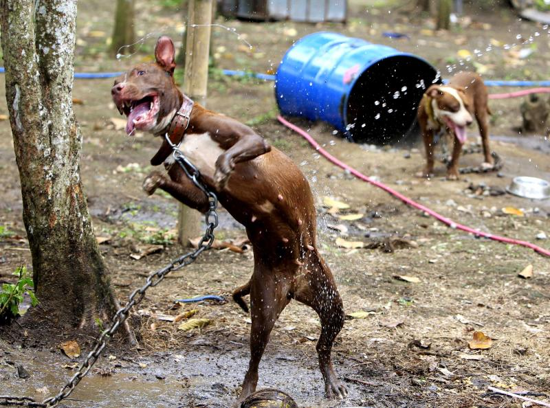 A rescued pit bull catches drops of water from a volunteer of the Philippine Animal Welfare Society (PAWS) Tuesday, April 3, 2012 at a coffee farm lot in San Pablo city, Laguna province, south of Manila, Philippines. Dozens of pit bulls rescued from a dogfighting ring will be put down starting Tuesday by the animal welfare activists who said there are no facilities to rehabilitate them and prevent them from again being used in underground arenas. (AP Photo/Bullit Marquez)