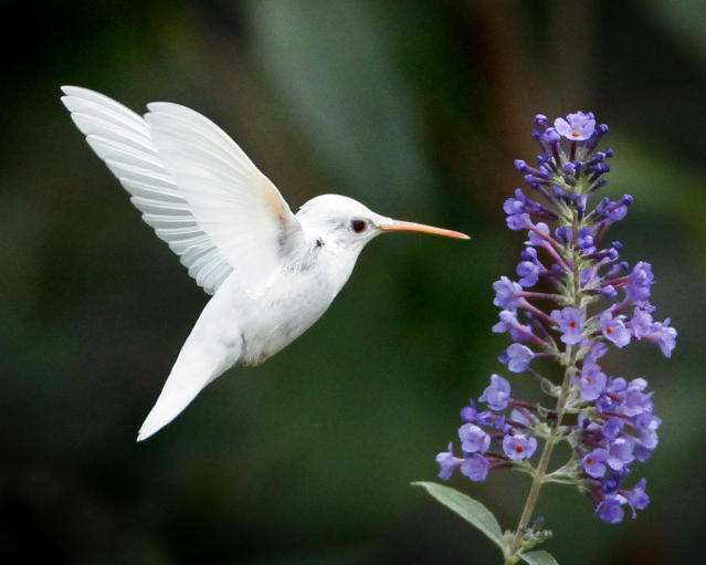 <p>The Albino ruby-throated hummingbird in Staunton, Virginia. (Photo: Marlin Shank/Caters News) </p>