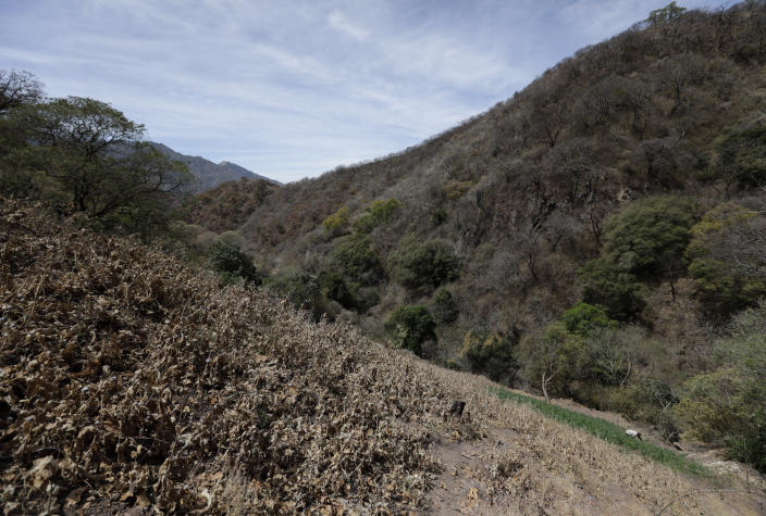A farmer works in a marijuana field surrounded by a poppy field that was sprayed dry months ago by an army helicopter in the mountains surrounding Badiraguato, Sinaloa state, Mexico, Wednesday, April 7, 2021. In Mexico, demand and the price of marijuana fell when several states in the U.S. legalized it, though it continues exporting bulk quantities and is the top foreign supplier to U.S. consumers, according to a report by the U.S. DEA. (AP Photo/Eduardo Verdugo)