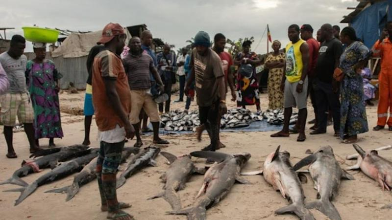 Excessive fishing off Congo Brazzaville coast threatens sharks