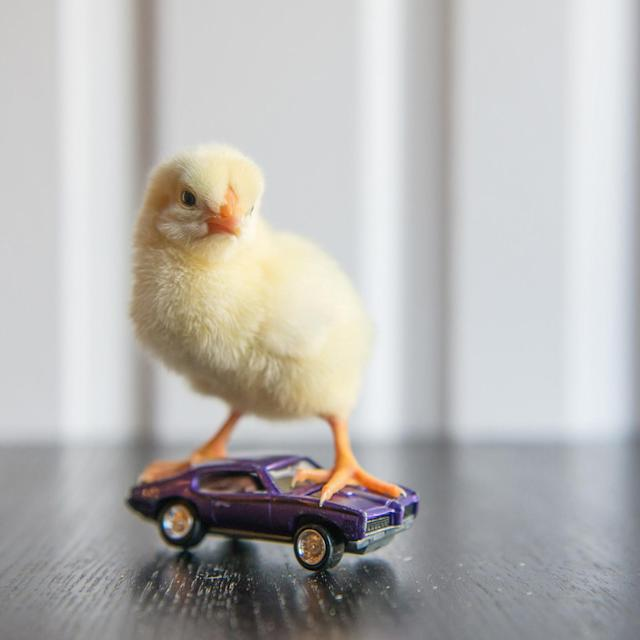 <p>A chick stands on a sports car. (Photos: Alexandra C. Daley-Clark/sillychickens.com) </p>
