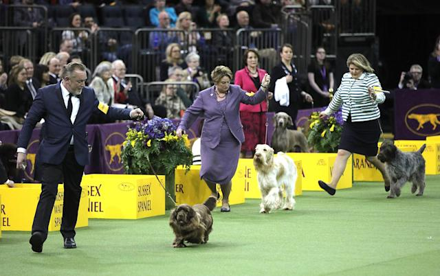 <p>Dogs compete to become best during the second day of the 142nd Westminster Kennel Club Dog Show at the Madison Square Garden in New York City, United States on Feb. 13, 2018. (Photo: Atlgan Ozdil/Anadolu Agency/Getty Images) </p>