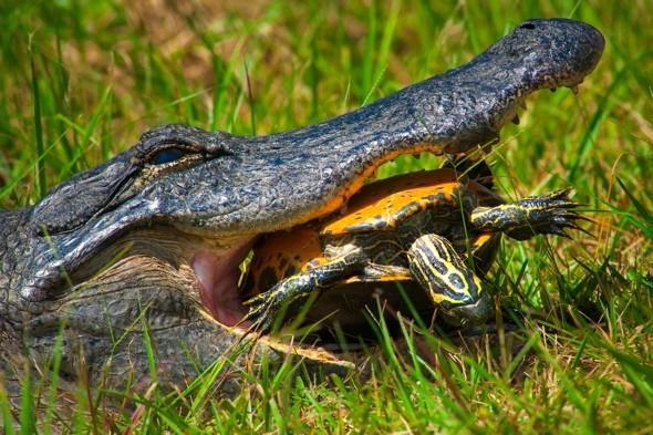 Shell shock: Turtle survives 15-minutes in 6ft alligator's jaws