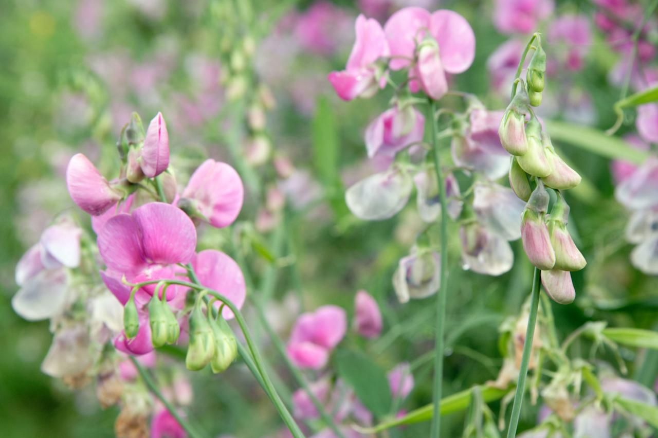 "<p class=""normal"">An old cottage garden favorite, rambling sweet peas in all shades of pastels take off when planted alongside a fence line or allowed to overtake a trellis. Plant in rich, <a href=""http://www.sunset.com/garden/fruits-veggies/how-to-amend-soil-video"">amended soil</a> and water deeply and regularly to encourage vigorous roots. To prolong flowering, pick stems or deadhead often.</p>"