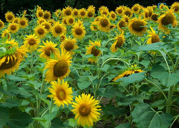 ▲A photo of sunflowers blooming in bunches