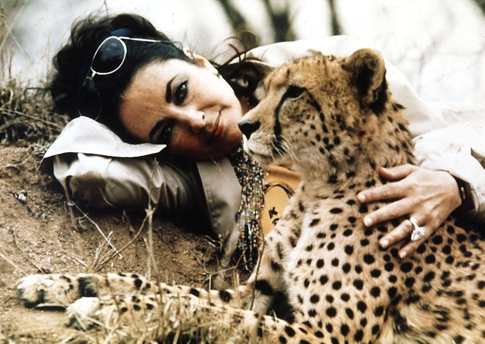 British actress Elizabeth Taylor visits the Kruger Park game reserve, just prior to her re-marriage to Richard Burton in Botswana, Africa, Oct. 1975. Taylor is seen here with 'Taga', a young orphaned cheetah who was nursed backed to health by rangers at the reserve. (AP Photo)