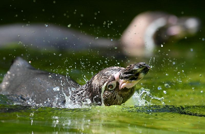 A humboldt Penguin swims in the enclosure in the Berlin Yoo Tuesday July 9, 2013. Weather forecasts predict sunny weather for the next few days in Germany. (AP Photo/dpa,Matthias Balk)