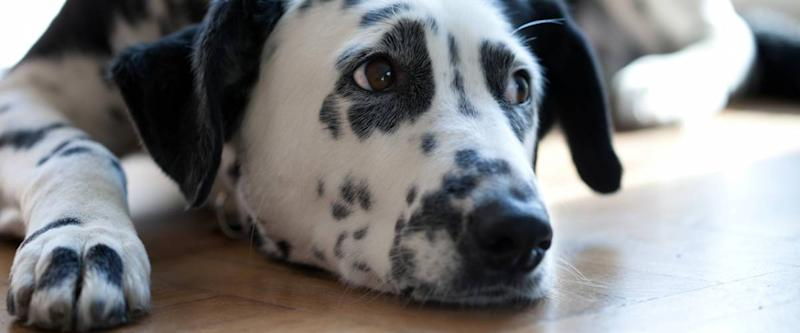 Dalmatian lying on the floor in the sun
