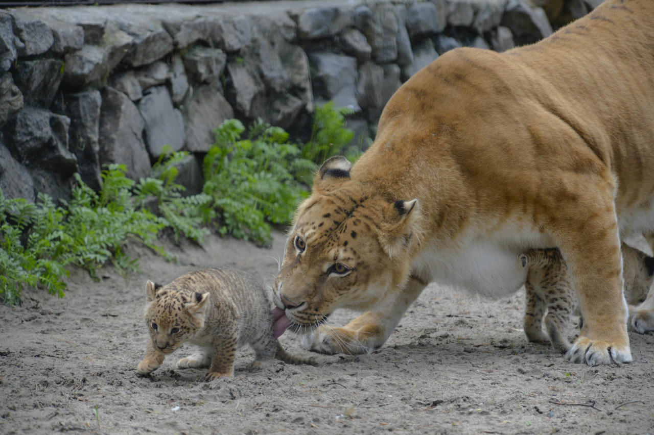 In this Tuesday, June18, 2013 photo Zita, a liger, half-lioness, half-tiger, licks her one month old liliger cub in the Novosibirsk Zoo. The cub's father is a lion, Sam. (AP Photo /Ilnar Salakhiev)