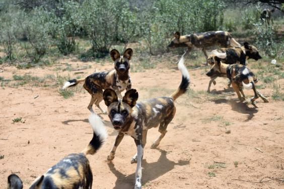 Painted dogs are endangered (Getty/iStock)
