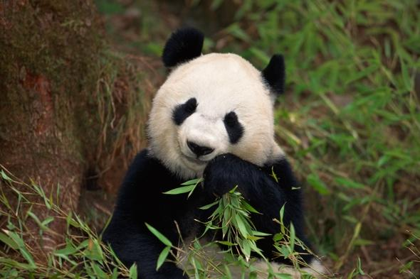 Panda fakes pregnancy for better food and nicer accommodation