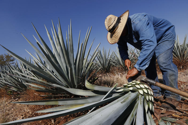AMATITAN, MEXICO - MAY 15: A worker known as 'jimador' performs the 'Jima' which consist in cutting the blue agave, later used to distil and produce Tequila on May 15, 2020 in Amatitan, Mexico. Unlike beer, tequila production was considered essential and distilleries continue to work during the pandemic. Exports to the United States in April increased 60%. (Photo by Refugio Ruiz/Getty Images)